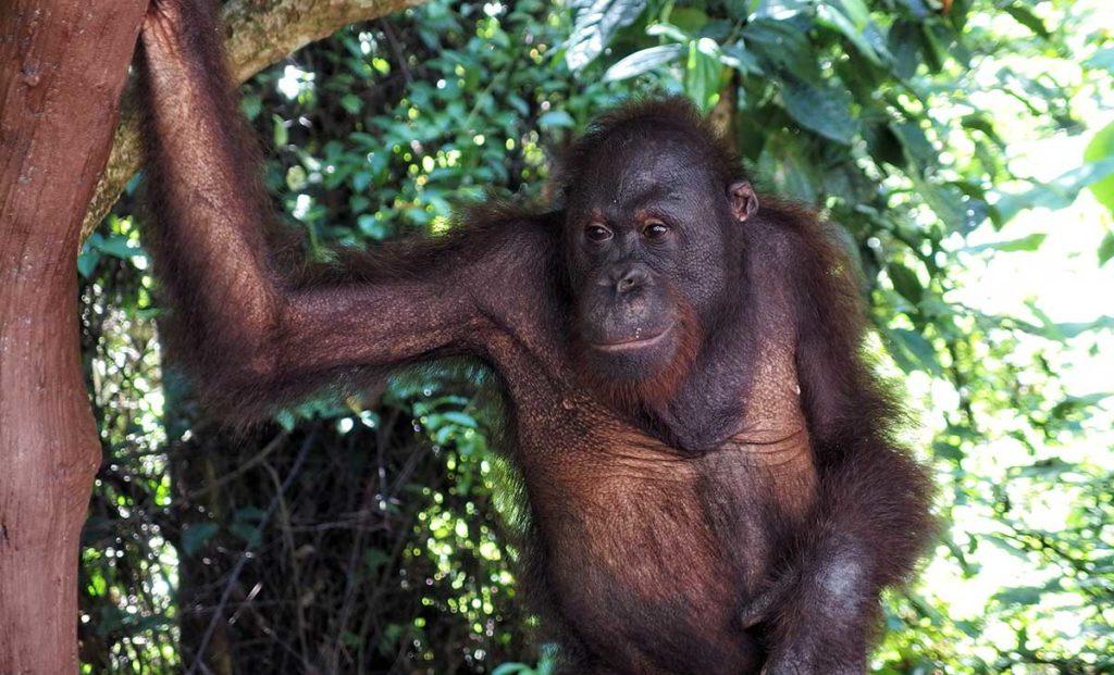 Orango Borneo