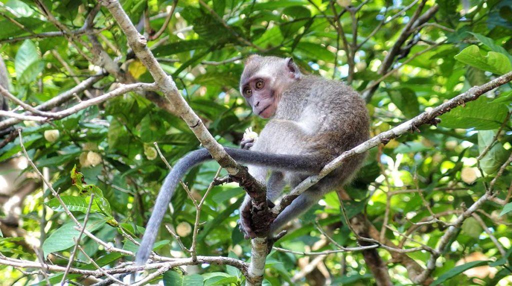 Macaco del Borneo malese