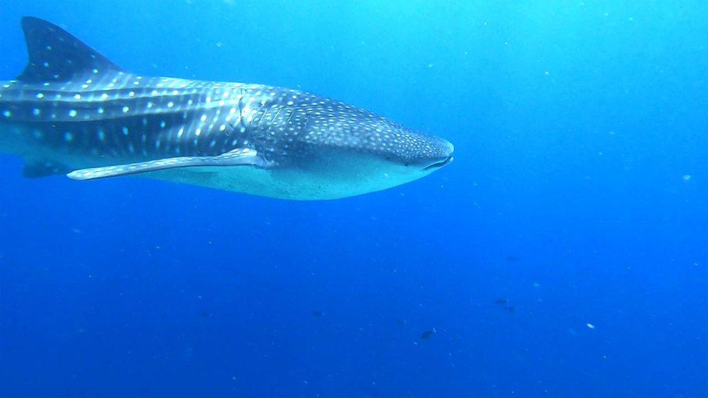 Squalo balena Maldive Ari Sud
